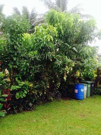 Te Akapuao Holiday Home and Studio Villas: Fresh fruit galore, one of many around the property