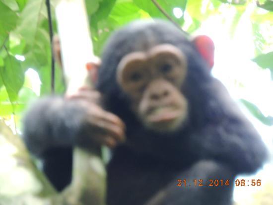 Lake Tanganyika : The chimp experience was amazing.