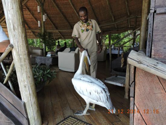 Lake Tanganyika : This pelican came to visit us at the lodge.