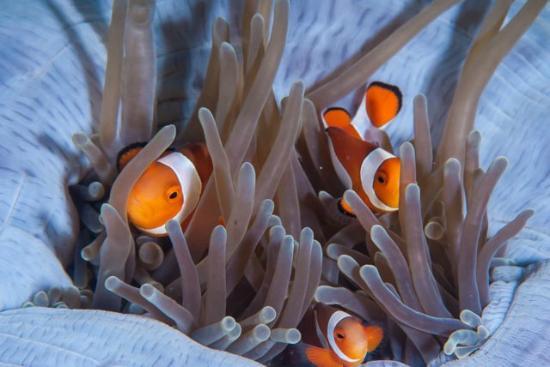Sogod Bay Scuba Resort: Clownfish