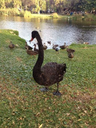 Karrinyup Waters Resort: Black Swan