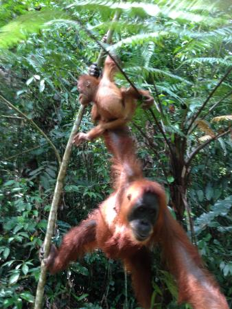 Sumatra, Indonesia: Mum and baby Orangutan