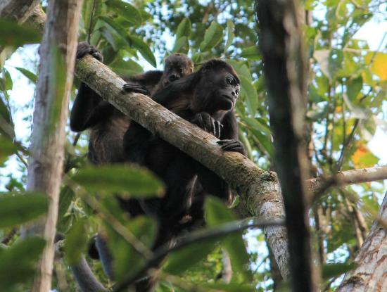 Whitehawk Birding and Conservation-Day Tours: Howler monkeys