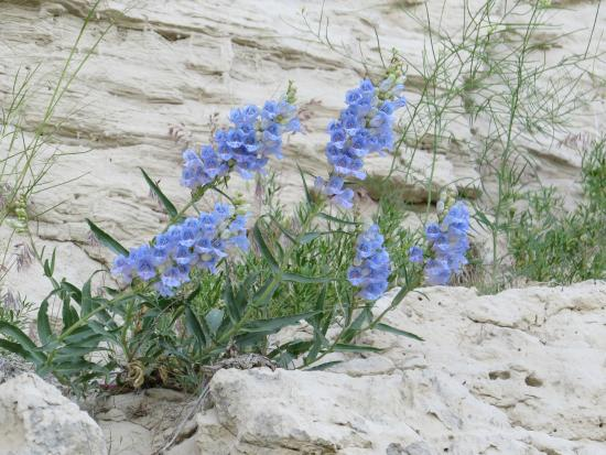 Gering, NE: Mountain Flowers