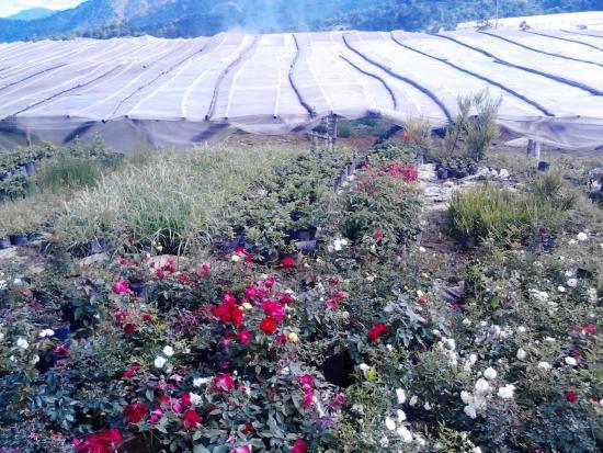 Bahong Rose Gardens
