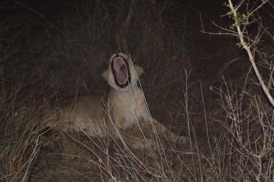 Makalali Private Game Lodge: baillement de lionne = pas de caries...