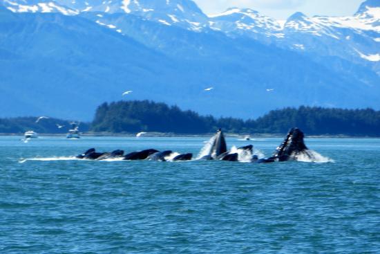 Weather Permitting Alaska - Whale Watching: Bubble Netting