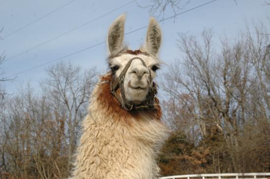 Garth Woodside Mansion Estate : Resident Llama