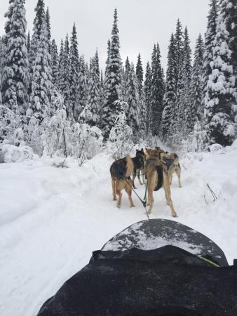 Mountain Man Dog Sled Adventures: View from the sled.
