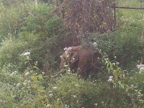Tamarind Thirunelly: wild elephant near by ..