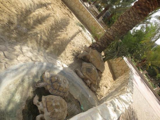 Al Areen Wildlife Sanctuary: Turtles had no water!