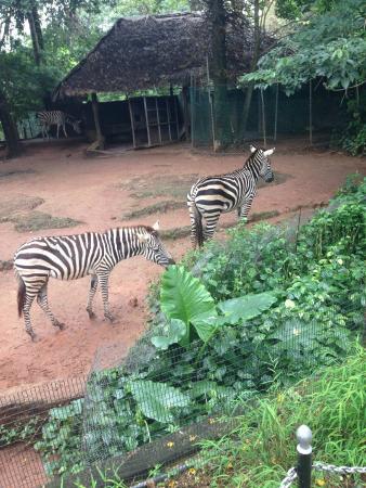 National Zoological Gardens of Sri Lanka: Зебры