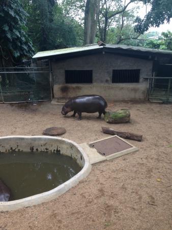 National Zoological Gardens of Sri Lanka: Бегемот