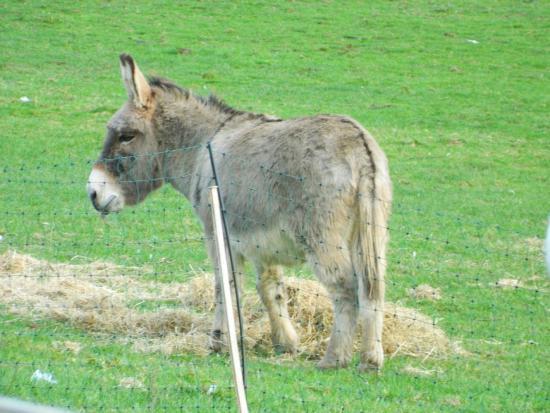 Merlin Farm Cottages Mawgan Porth : Donkey at Merlin Farm