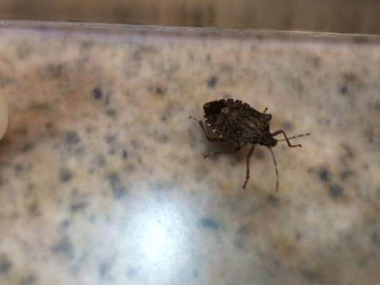 Hampton Inn Asheville - I-26 Biltmore Area: More Stink Bugs!!