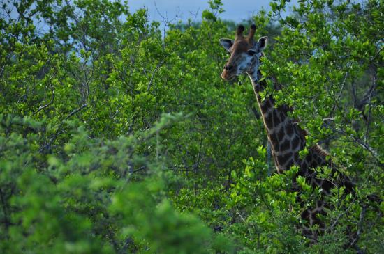Chisomo Safari Camp: Giraffe spotted during one of the safari tours