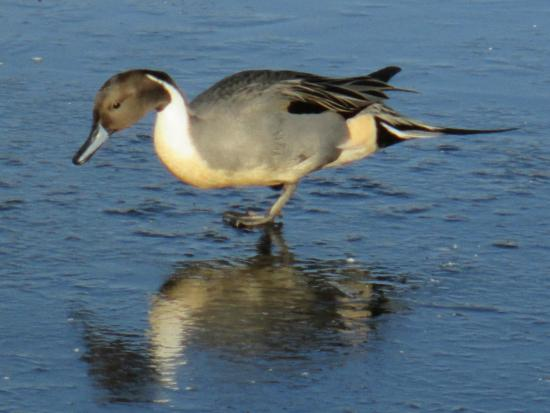 George C. Reifel Migratory Bird Sanctuary : Pintail wondering who the good looking duck under the ice is.