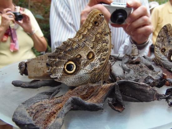 National Museum (Museo Nacional): Owl Butterflies In The Butterfly Exhibit,  National Museum