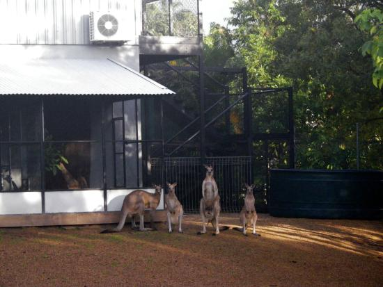 Daintree Wild Bed and Breakfast: Outside the main office the free-roaming kangaroos and wallabies wait for breakfast