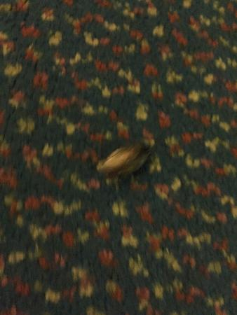 Seralago Hotel and Suites: Roaches in room