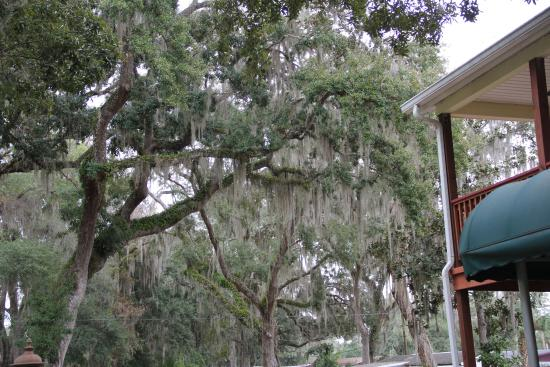 The Chassahowitzka Hotel: Beautiful Oaks with Spanish Moss in the front area