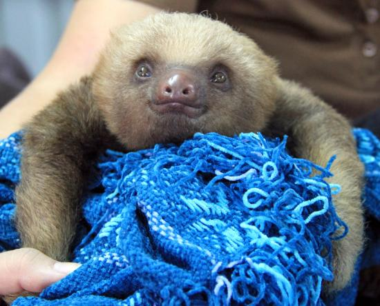 Refugio Herpetologico de Costa Rica: Orphaned baby sloth