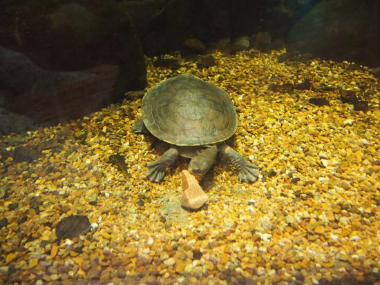 Reef HQ Great Barrier Reef Aquarium: Fresh water turtle