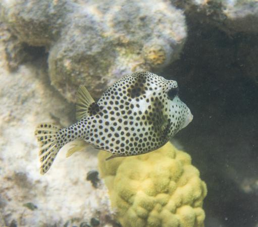 Bacalar Chico National Park and Marine Reserve: spotted trunkfish