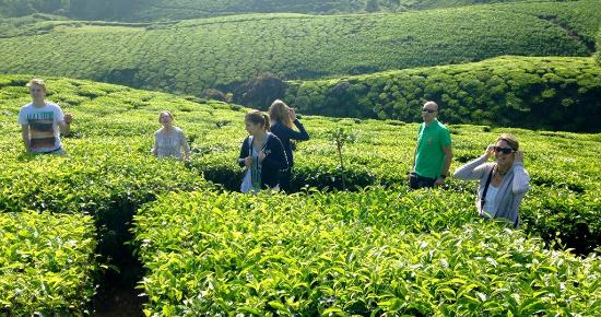 Musafir Day Tours: In a tea Plantation