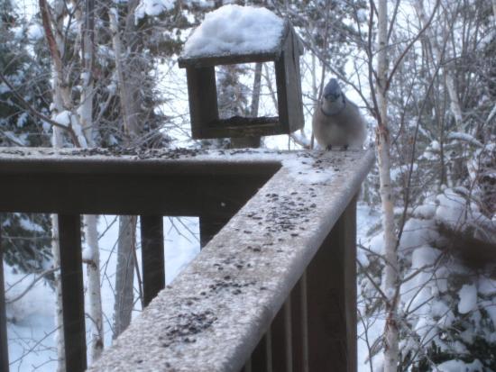 Golden Eagle Lodge: Bird at deck feeder