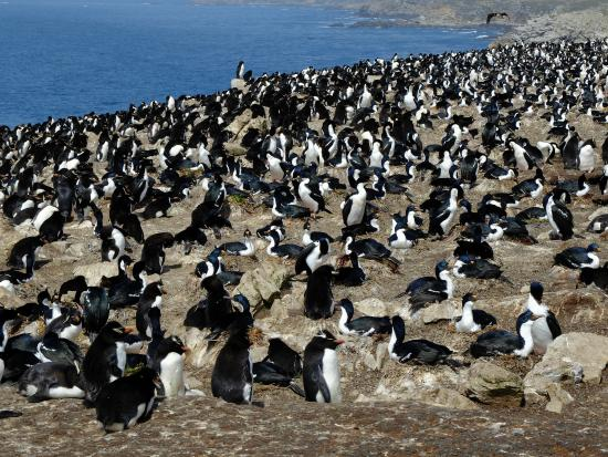 Port Howard, Ilhas Malvinas: Penguin Colony seen on the included tour