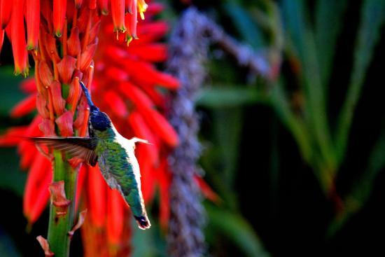 Heisler Park: Hummingbirds and Aloe flowers