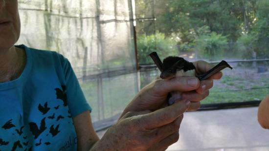 The Bat Hospital Visitor Centre: Baby Bat? Or not Baby ... :-)