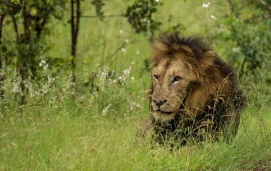 Tydon Safari Camp: Lion in Kruger