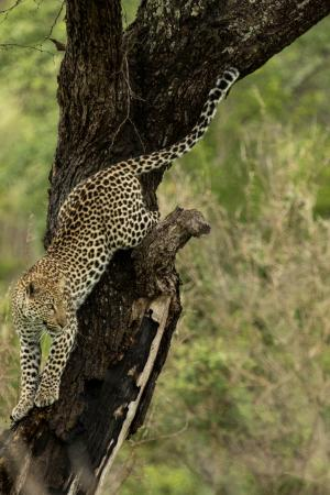 Tydon Safari Camp: Leopard before making a kill in Kruger