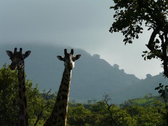 Campi ya Kanzi : Giraffes in the Green Hills of Africa