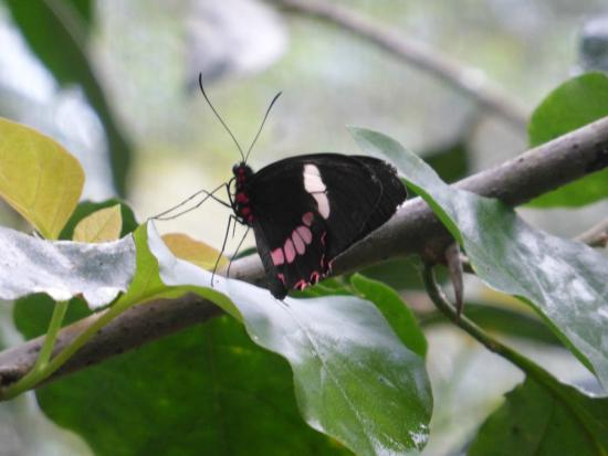 Butterfly Conservatory : Green celled cattle heart