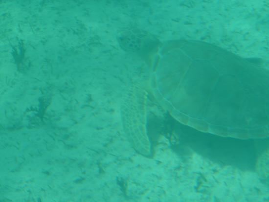 Undersea Explorer: lots of sea turtles