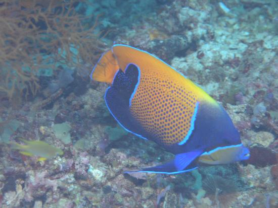 Majestic Angelfish | Majestic Angelfish Picture Of Blue Marine Dive Gili Air Tripadvisor