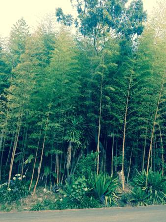 Wharepuke Subtropical Accommodation: Massive Bamboo in the car park