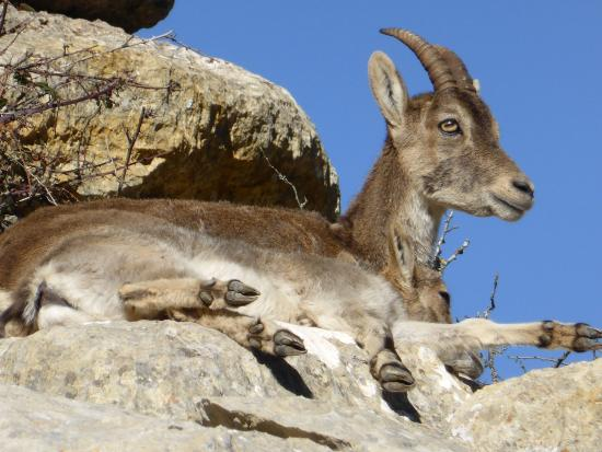 Antequera, Spanje: Ibex sitting on rock ledge in El Torcal Park