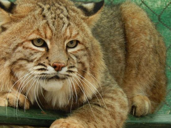 Bear Creek Feline Center: Inside and face to face with the Bobcats