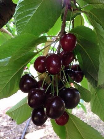 Cherryhill Orchards: Good harvest in 2015