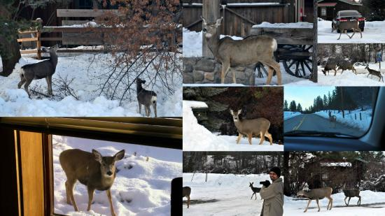 Winthrop Mountain View Chalets: just few of the 100 deer that we spotted close to our room