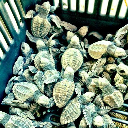 Playa Viva: Baby turtles on day 2