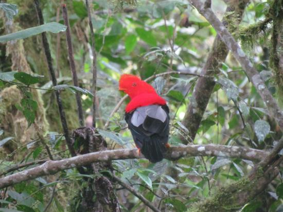 Paz de las Aves Bird Refuge: Cock of the rock
