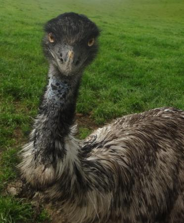 Waitomo Big Bird Bed & Breakfast: close n personal to an emu