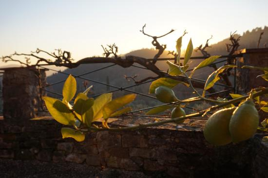 Villa Di Campolungo Agriturismo: Lemon tree