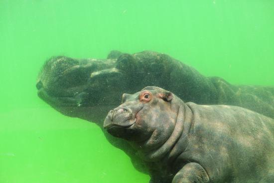 Brugelette, Bélgica: Hippo
