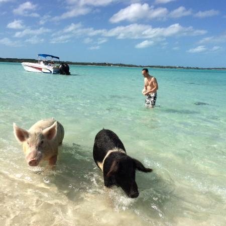 Pig Island Bahamas Tour